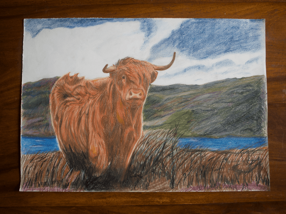 Mark Lewis Drawings- Highland Cow